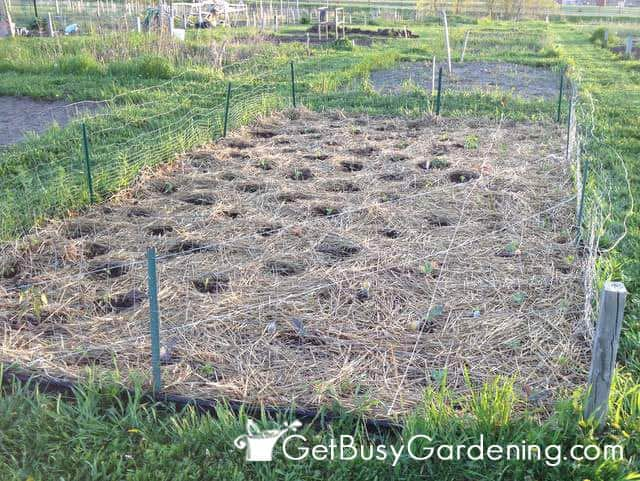 Superbe Vegetable Garden Mulched With Straw