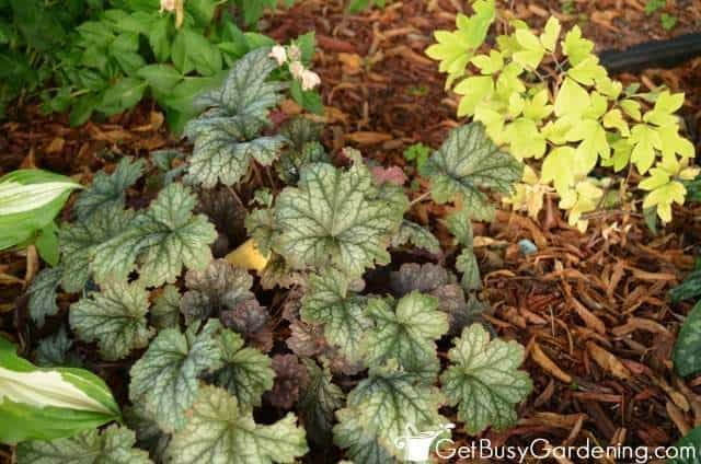 Coral Bells And Bleeding Heart Plants
