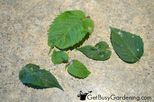 Discard Diseased Bee Balm Leaves