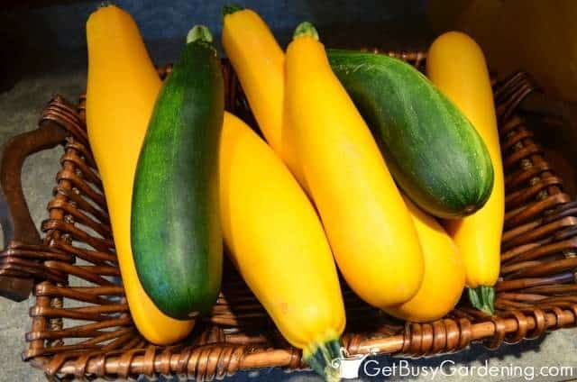 Freshly Harvested Zucchini From The Garden