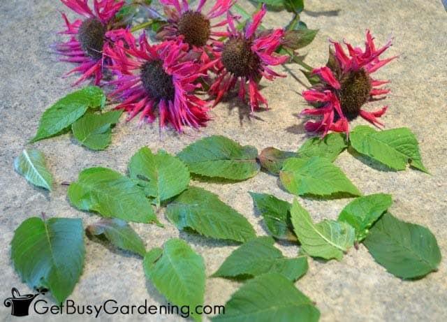 Harvest Bee Balm Leaves To Make Tea