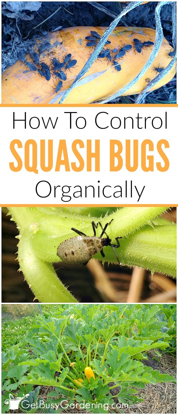 Squash bugs can cause major damage to squash plants in the garden, but they are easy to control. Learn how to get rid of squash bugs organically, and easy prevention tips to keep them away for good!