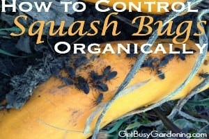 How to Control Squash Bugs Organically