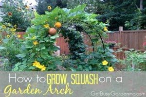 How To Grow Squash on a Garden Arch