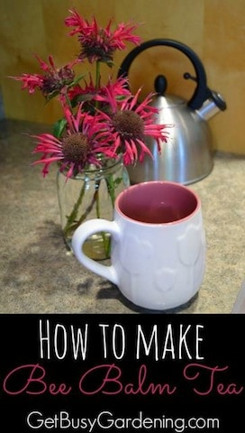 Bee balm tea is delicious with a mild minty flavor. It can be made from freshly picked or dried leaves. Learn how to make bee balm tea from your garden.