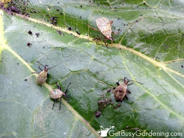 Squash Bugs On Squash Leaf