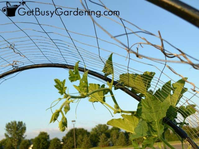 Squash Vine Hanging Off The Arch