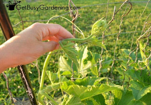 Weaving tendril vines into a wire trellis