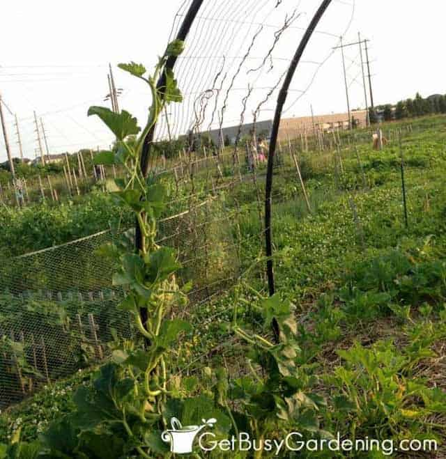 Training Squash Vines To Grow On Garden Arch