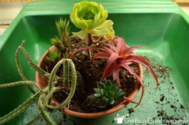 Add Cascading Plants To Indoor Succulent Garden