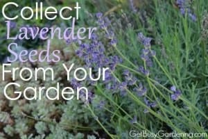 Collect Lavender Seeds From Your Garden