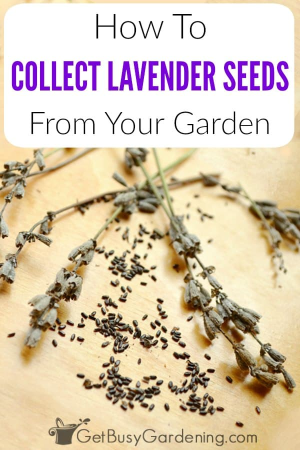 It's easy to collect lavender seeds and save them for planting next year, or to share with friends! Lavender plant seeds form inside the flower heads, so allow some of the flowers to dry out on the plant. Then, when the seeds are ready, simply shake them into a container. Learn how to harvest lavender seeds step-by-step, and also how to store them to grow next year.