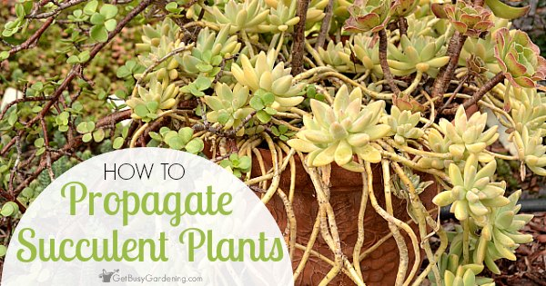 how to propagate succulents. Black Bedroom Furniture Sets. Home Design Ideas