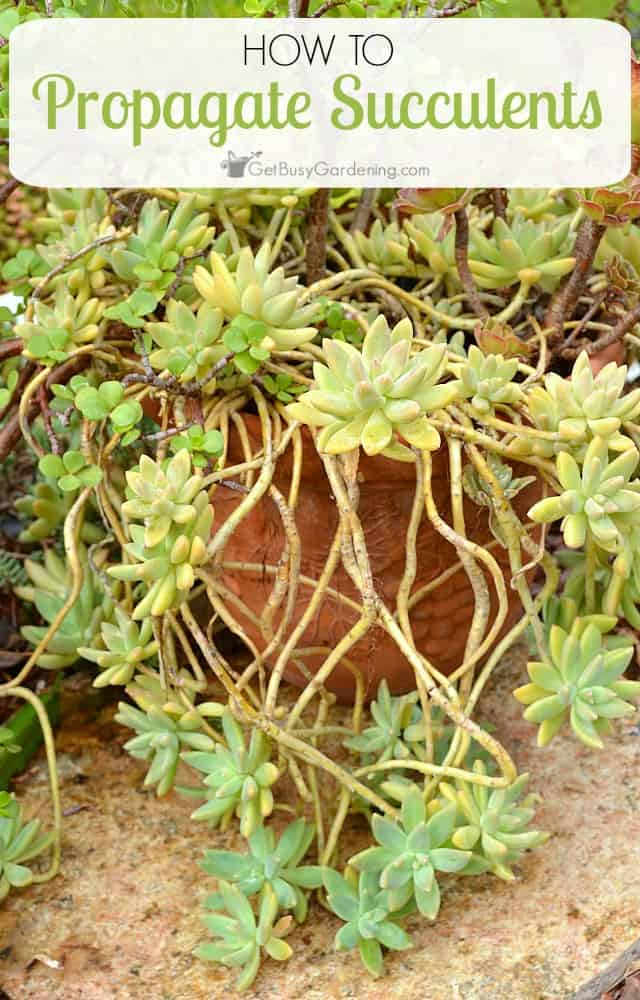Succulents make great houseplants and they are very easy to propagate. How to propagate succulents from leaf and stem cuttings, step by step instructions.