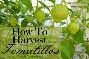 How to Harvest Tomatillos From Your Garden