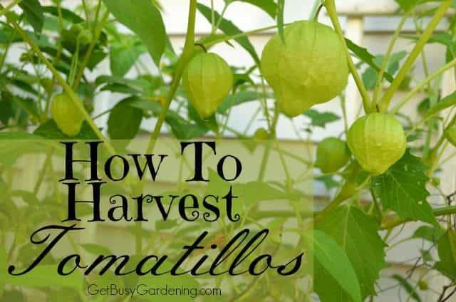 How To Harvest Tomatillos