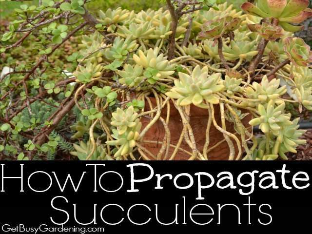 Top 28 How Does It Take To Grow Succulents From Seeds