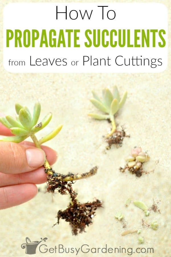 Propagating succulents is a great way to share baby plants with friends, or quickly expand your own houseplant collection! Growing succulents from cuttings is fast and super simple! In this post, you'll learn how to take cuttings of succulents, and get tons of DIY succulent propagation tips. Plus, I'll show you step by step exactly how to grow succulents from leaves or stems.