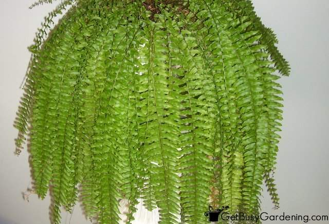 Ferns Houseplants
