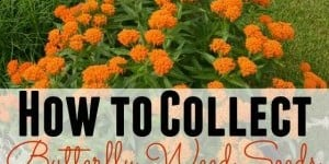 How To Collect Butterfly Weed Seeds