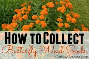 How To Collect Butterfly Weed Seeds From The Garden