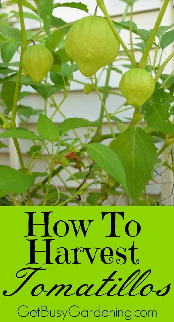 If you're new to growing tomatillos in your garden, it can be tricky to know how to harvest them. Here's how to tell when it's time to harvest tomatillos.