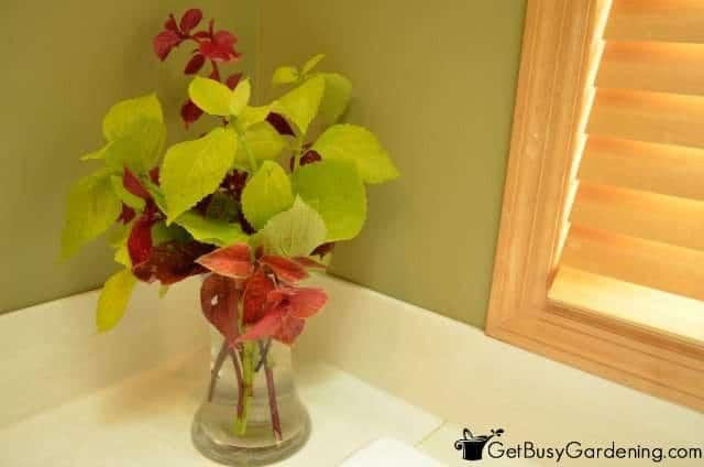 Overwinter Coleus Cuttings In Vase Of Water
