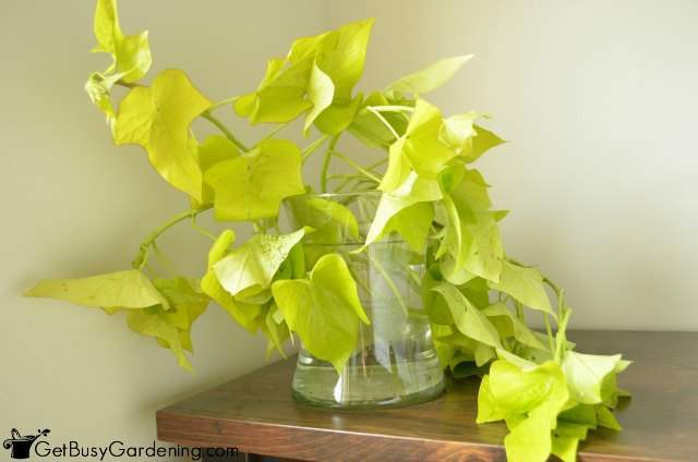 Overwinter Sweet Potato Vine Cuttings In Vase Of Water