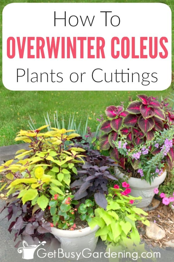 Coleus can be overwintered indoors as cuttings or houseplants, which means you can save your favorite varieties to grow in your gardens again next summer!  Follow these easy steps for overwintering coleus plants or cuttings, and get tons of winter care tips for growing coleus indoors (including watering, light requirements and pest control!). It's worth the effort to save money every spring, and grow your favorites every year.
