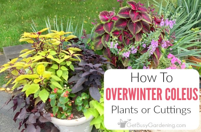 How To Overwinter Coleus Plants Indoors Get Busy Gardening