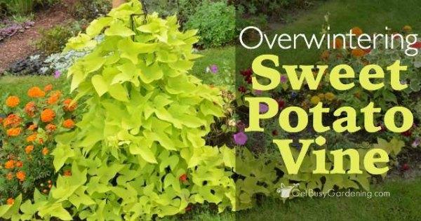 Overwintering Sweet Potato Vine Cuttings