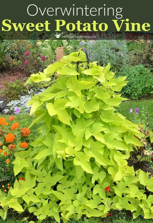 Overwintering Sweet Potato Vine Cuttings Get Busy Gardening