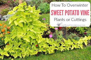 How To Overwinter Sweet Potato Vines