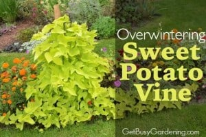 Overwintering Sweet Potato Vine Cuttings