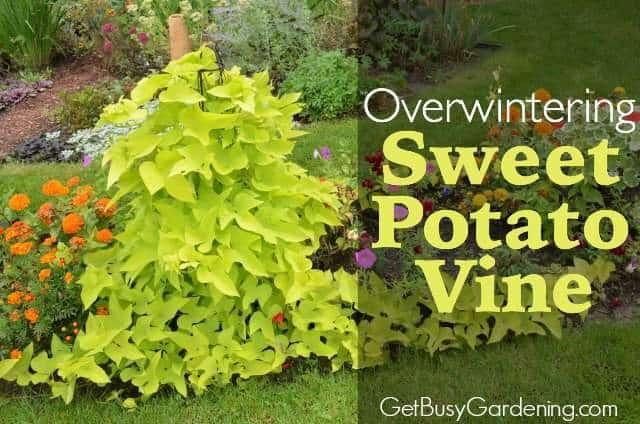 Overwintering Sweet Potato Vine