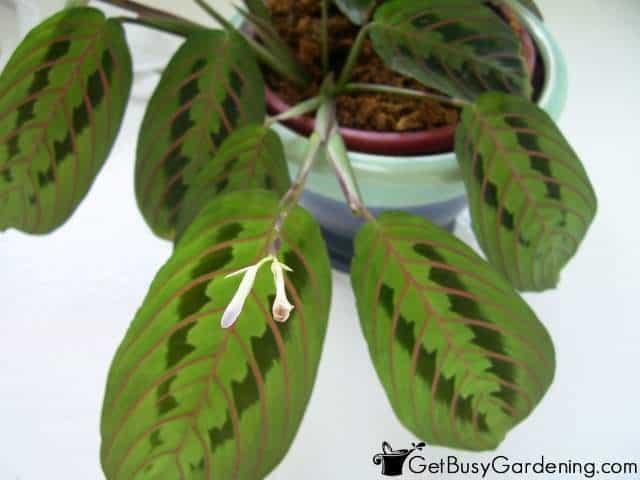 Prayer Plant Houseplants