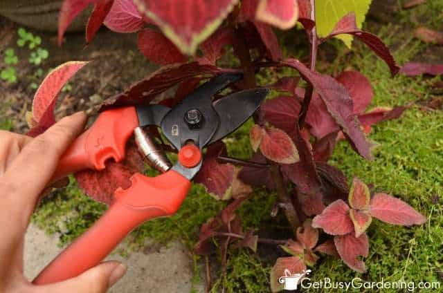 Take Cuttings Of Coleus To Overwinter Indoors