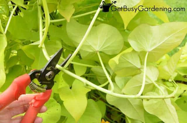 Take Cuttings Of Sweet Potato Vine To Overwinter Indoors