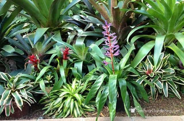 Bromeliad houseplants
