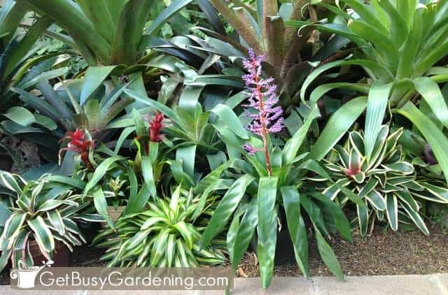 Bromeliads are colorful low light plants
