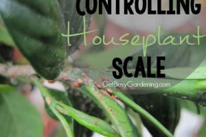 Controlling Houseplant Scale