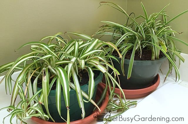 Spider plants are easy care houseplants for low light