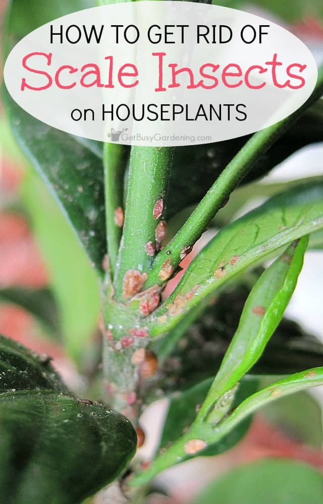 How To Get Rid Of Scale Insects On Houseplants, For Good! House Plant Insect Identification on hosta plant identification, plant bugs identification, house plant soil insects, house plant bugs insects, house plant insecticides, house plant worm identification, house plant identification key, michigan plant identification, house plant identification by leaf, plant pests and diseases identification, house plant leaves identification, house plant moths, plant parasites identification, identify house plant identification, vegetable plant pest identification, indoor plant identification, house plant fungus identification, house plant pests, green plant identification,