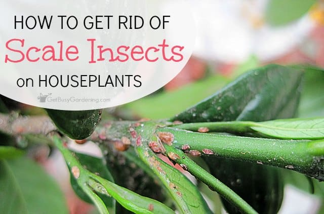 How to get rid of scale on houseplants