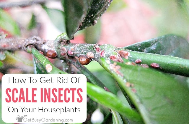 How To Get Rid Of Scale Insects On Houseplants, For Good!