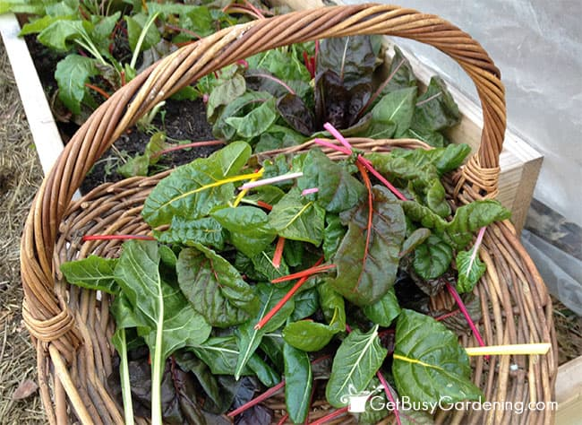 Swiss chard that I grew from winter sown seeds