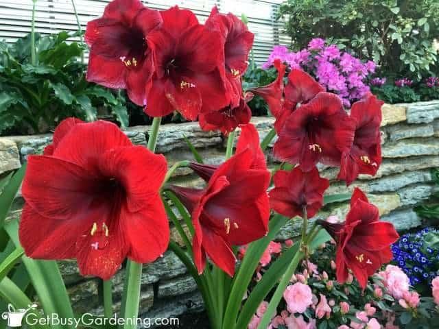 Amaryllis Houseplants In Bloom