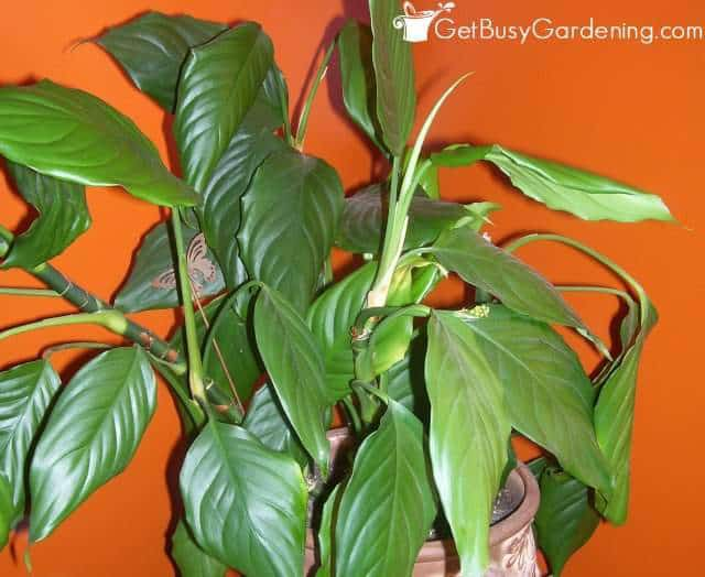 Chinese Evergreen Houseplants Clean The Air