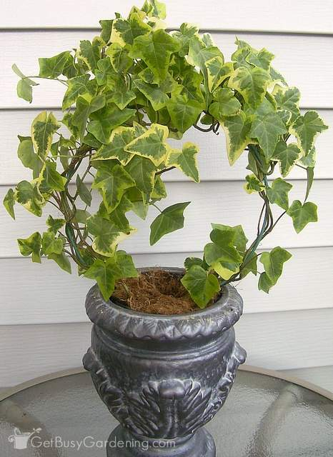 English ivy are air purifying indoor plants