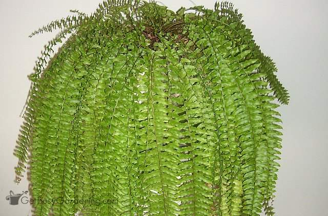 Ferns are one of the best air cleaning houseplants
